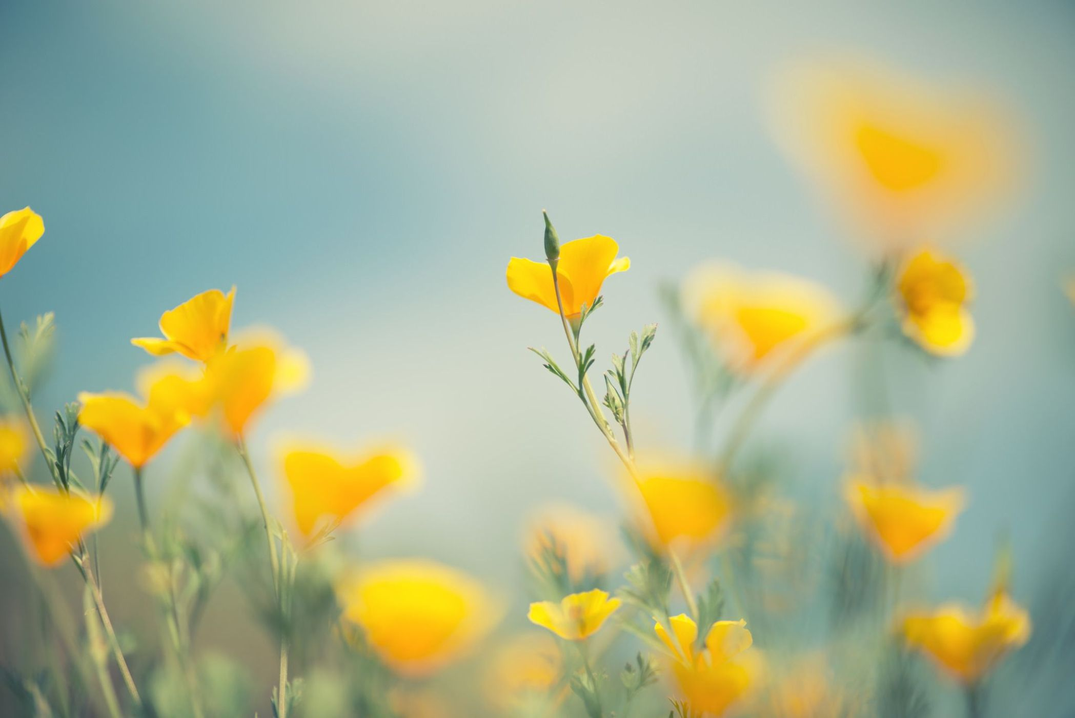 yellow meadow flowers in soft focus